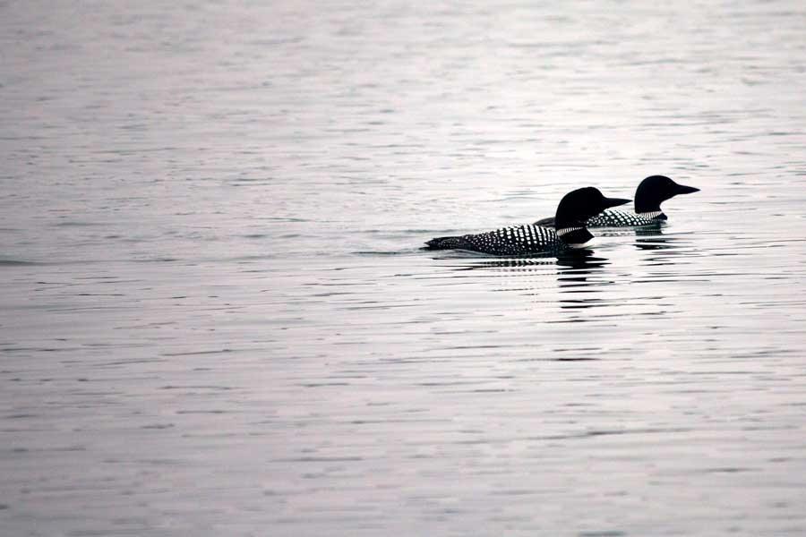 Loons on Harding Lake